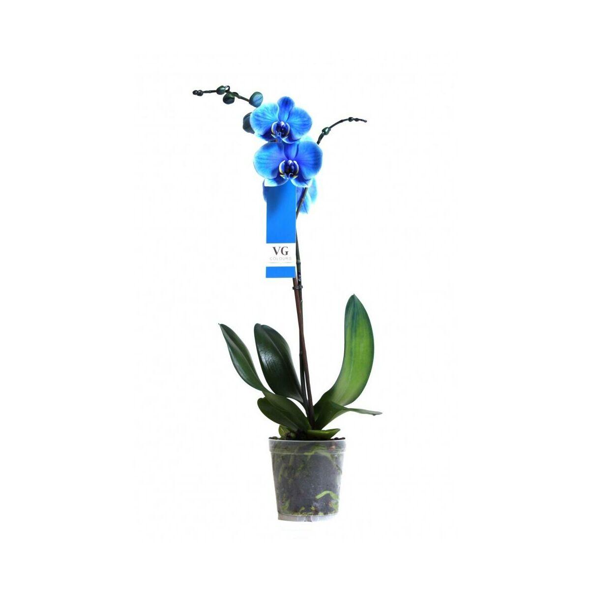 Storczyk Falenopsis Niebieski 1 Ped 50 70 Cm Rosliny Kwitnace W Atrakcyjnej Cenie W Sklepach Leroy Merlin