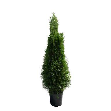 Tuja 'Smaragd' 100 - 110 cm (Żywotnik zachodni)