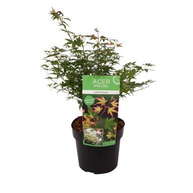 Roślina ogrodowa Klon palmowy 'Little Princess' 40 cm