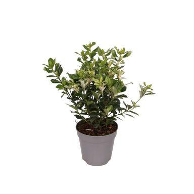Roślina ogrodowa Trzmielina japońska 'PIERROLINO'® 15 - 25 cm