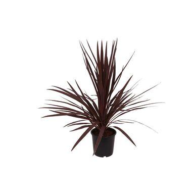 Kordylina australijska 'Red Star' 60 - 70 cm