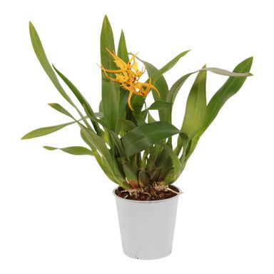 Storczyk Brassia Orange Delight 1 pęd 45 - 60 cm