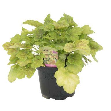 Roślina ogrodowa MIX Żurawka 20 - 40 cm