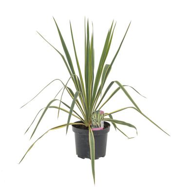 Roślina ogrodowa MIX Juka karolińska 20 - 40 cm