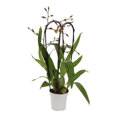 Roślina ozdobna MIX Storczyk Cambria Cascade 2 pędy 60 cm NO NAME