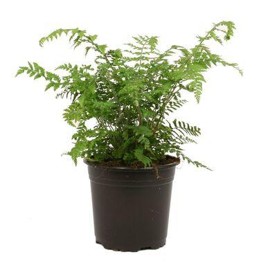Paproć ogrodowa MIX 10 - 20 cm