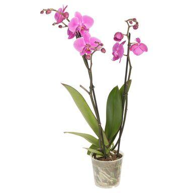 Storczyk Falenopsis 2 pędy MIX 50 - 70 cm