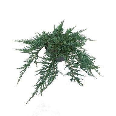 Jałowiec płożący 'Turquoise Spreader' 30 - 40 cm