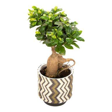 Bonsai Ficus Ginseng 50 cm w osłonce ozdobnej BOHEMIAN