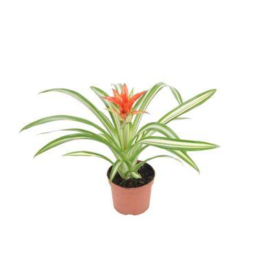 Bromelia MIX 40 cm