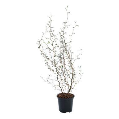 Sophora 'Little Baby' 40 cm