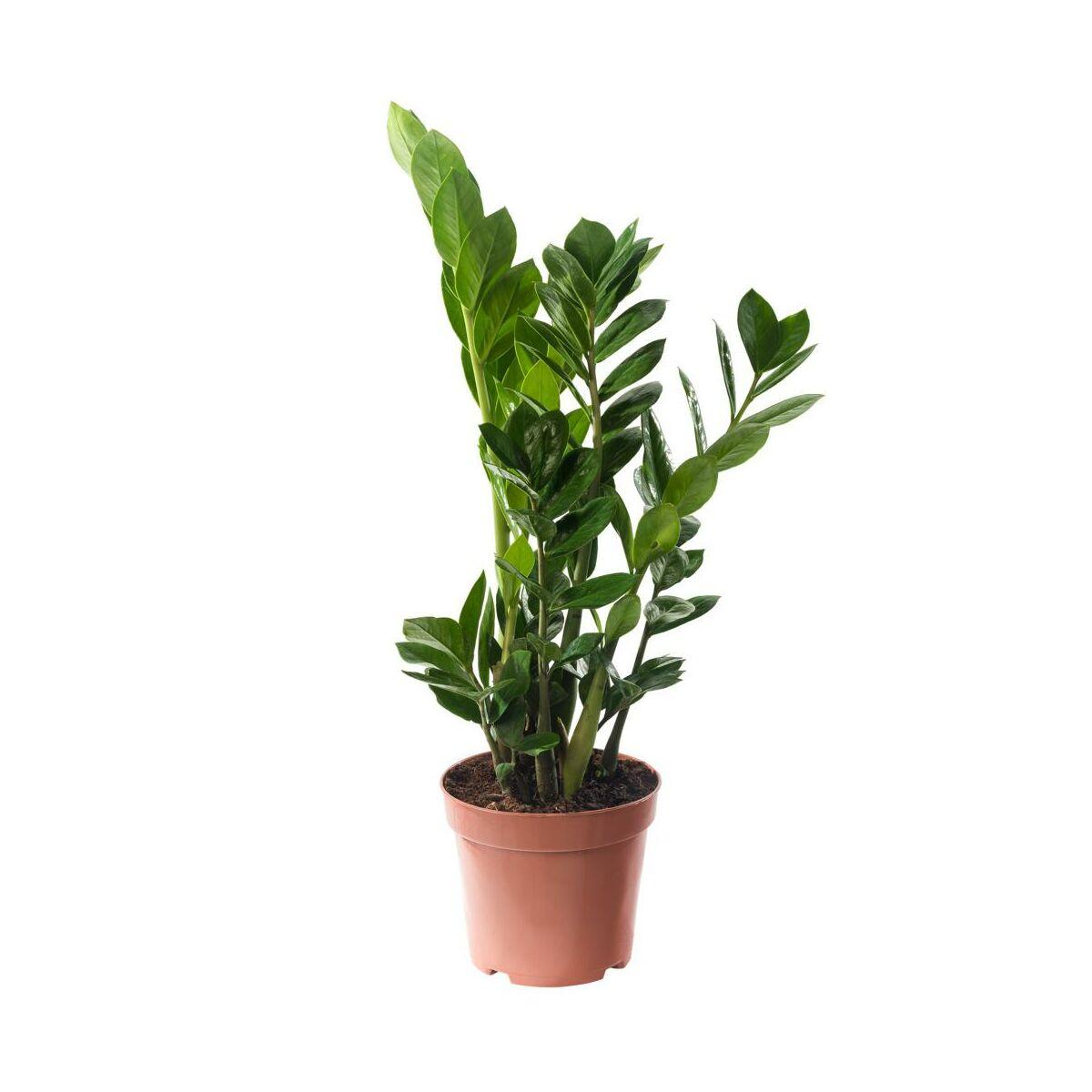 Zamiokulkas Zamiolistny 55 Cm Rosliny Zielone W Atrakcyjnej Cenie W Sklepach Leroy Merlin