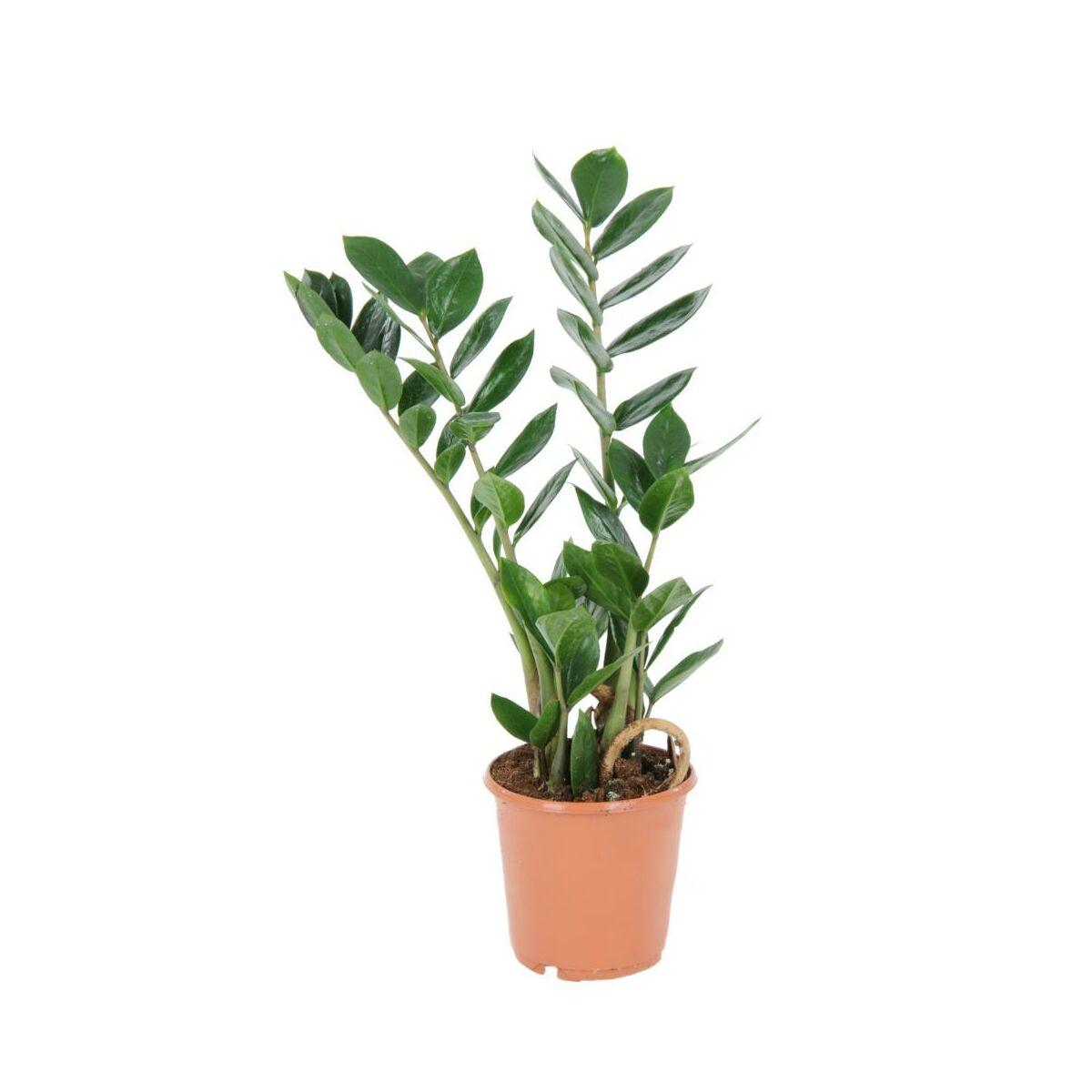 Zamiokulkas Zamiolistny 35 Cm Rosliny Zielone W Atrakcyjnej Cenie W Sklepach Leroy Merlin