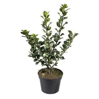 Roślina ogrodowa MIX Ostrokrzew 30 - 40 cm