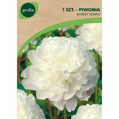 Cebulki kwiatów SHIRLEY TEMPLE Piwonia 1szt. GEOLIA