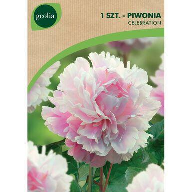 Cebulki kwiatów CELEBRATION Piwonia 1szt. GEOLIA