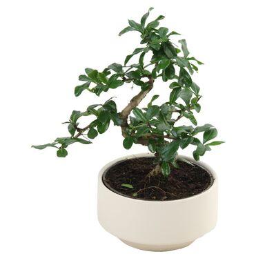Bonsai MIX 30 cm