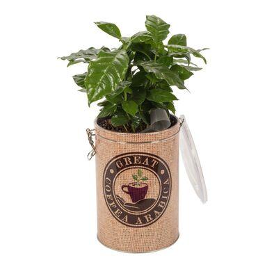 Roślina ozdobna MIX Kawa w ozdobnej puszce 40 cm NO NAME