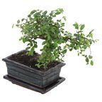 Bonsai MIX 30 cm