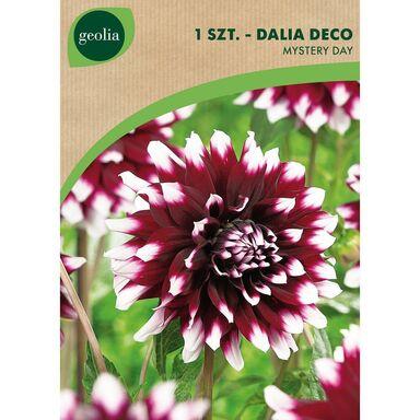 Cebulki kwiatów MYSTERY DAY Dalia dekoracyjna 1szt. GEOLIA