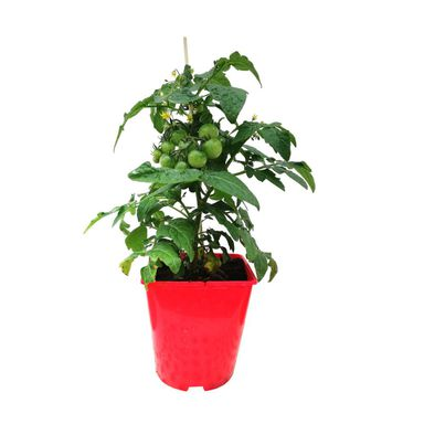 Pomidor balkonowy MIX 30 - 40 cm TWOJA PLANTACJA