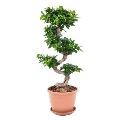Bonsai Ficus Ginseng 70 cm