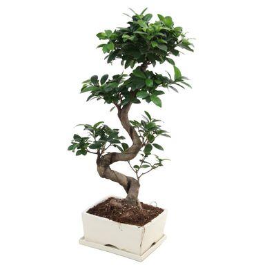 Bonsai Ficus Ginseng 55 - 60 cm