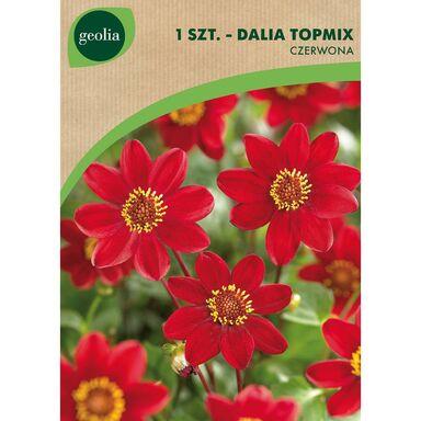 Cebulki kwiatów Dalia Top mix 1szt. GEOLIA