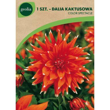 Cebulki kwiatów ORANGE FUBUKI Begonia strzępiasta 1szt. GEOLIA