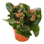 Kalanchoe Red 27 cm