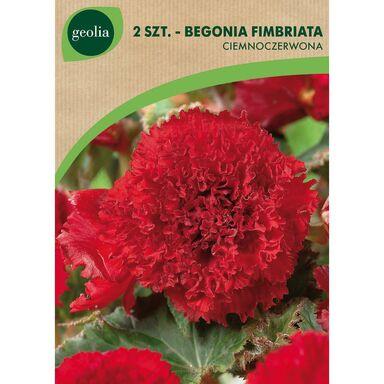 Cebulki kwiatów Begonia strzępiasta ciemnoczerwona 2szt. GEOLIA