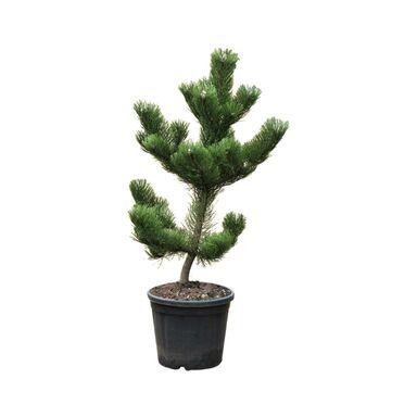 Roślina ogrodowa Sosna czarna 'Oregon Green' 60 - 70 cm