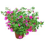 Calibrachoa Million Bells® / Superbells® MIX 15 - 30 cm