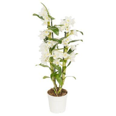 Storczyk Dendrobium nobile 1 pęd MIX 55 - 65 cm