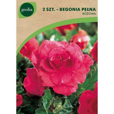 Begonia pełna różowa 2 szt. GEOLIA
