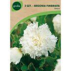 Begonia strzępiasta biała 2 szt. cebulki kwiatów GEOLIA