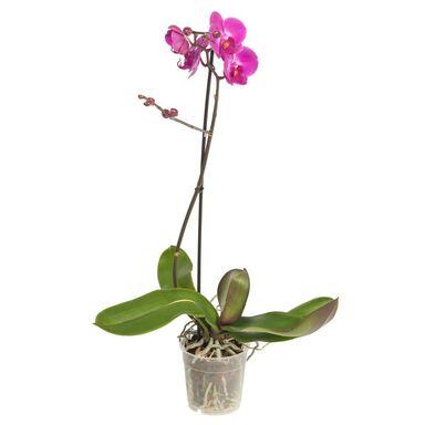 Storczyk Falenopsis 1 pęd MIX 50 - 70 cm