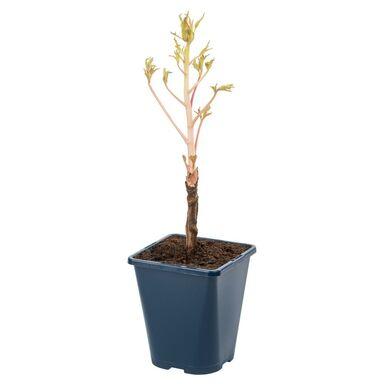 Piwonia drzewiasta MIX 20 - 25 cm