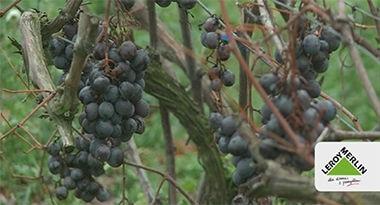 Wrażliwa winorośl