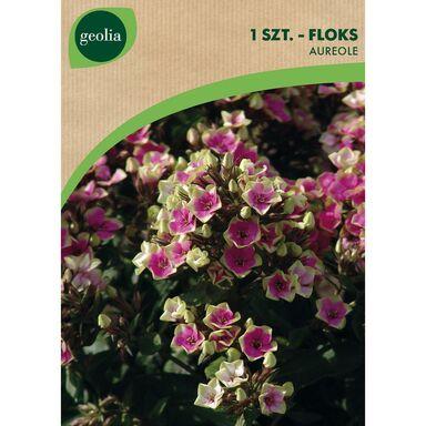 Cebulki kwiatów AUREOLE Floks wiechowaty 1szt. GEOLIA