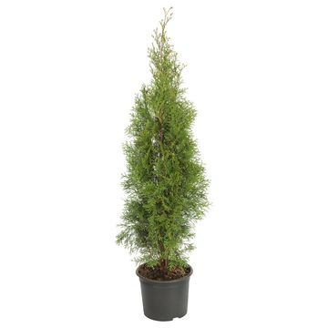 Tuja 'Smaragd' 50 - 60 cm (Żywotnik zachodni)