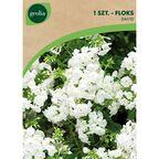 Floks wiechowaty DAVID 1 szt. cebulki kwiatów GEOLIA