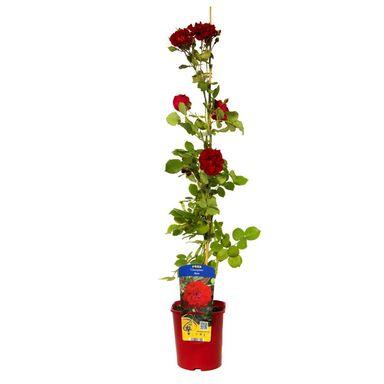 Róża kanadyjska MIX 90 cm CLEMATIS