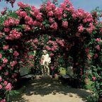 Róża pnąca MIX 20 - 30 cm
