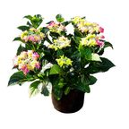 Hortensja ogrodowa wielkokwiatowa TELLER MIX 35 - 45 cm