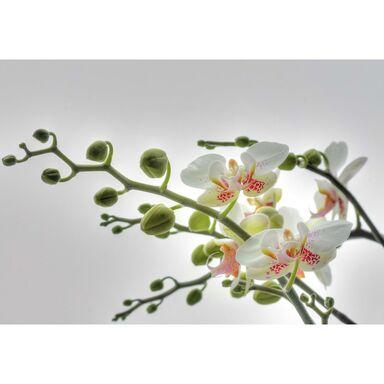 Fototapeta ORCHIDEE 184 x 184 cm