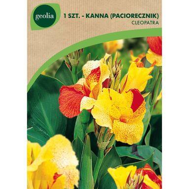 Cebulki kwiatów CLEOPATRA Paciorecznik 1szt. GEOLIA