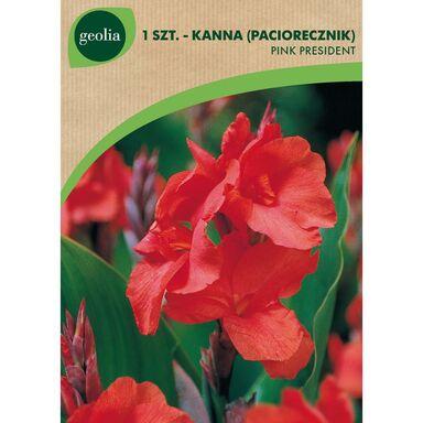 Cebulki kwiatów PINK PRESIDENT Paciorecznik 1szt. GEOLIA