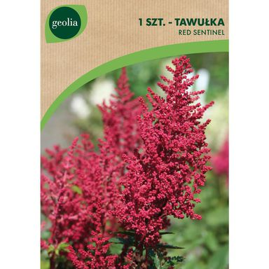 Cebulki kwiatów RED SENTINEL Tawułka 1szt. GEOLIA