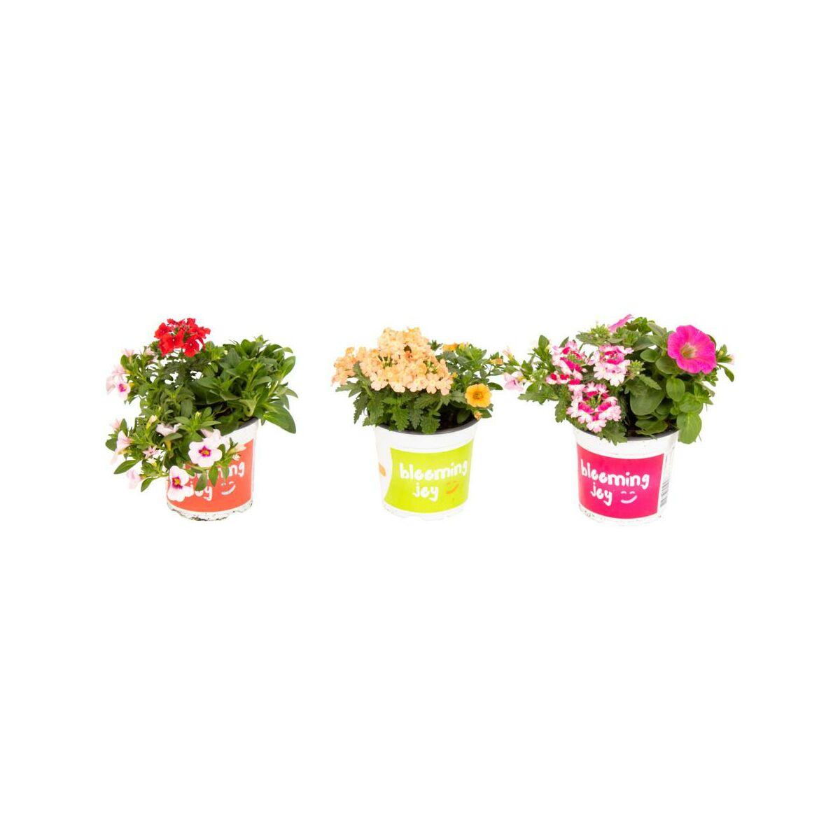 Rosliny Rabatowe Mix 15 25 Cm Kwiaty Balkonowe I Ogrodowe W Atrakcyjnej Cenie W Sklepach Leroy Merlin